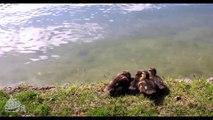 Tortus Mtn - Ducklings Crossing the River for Hemp