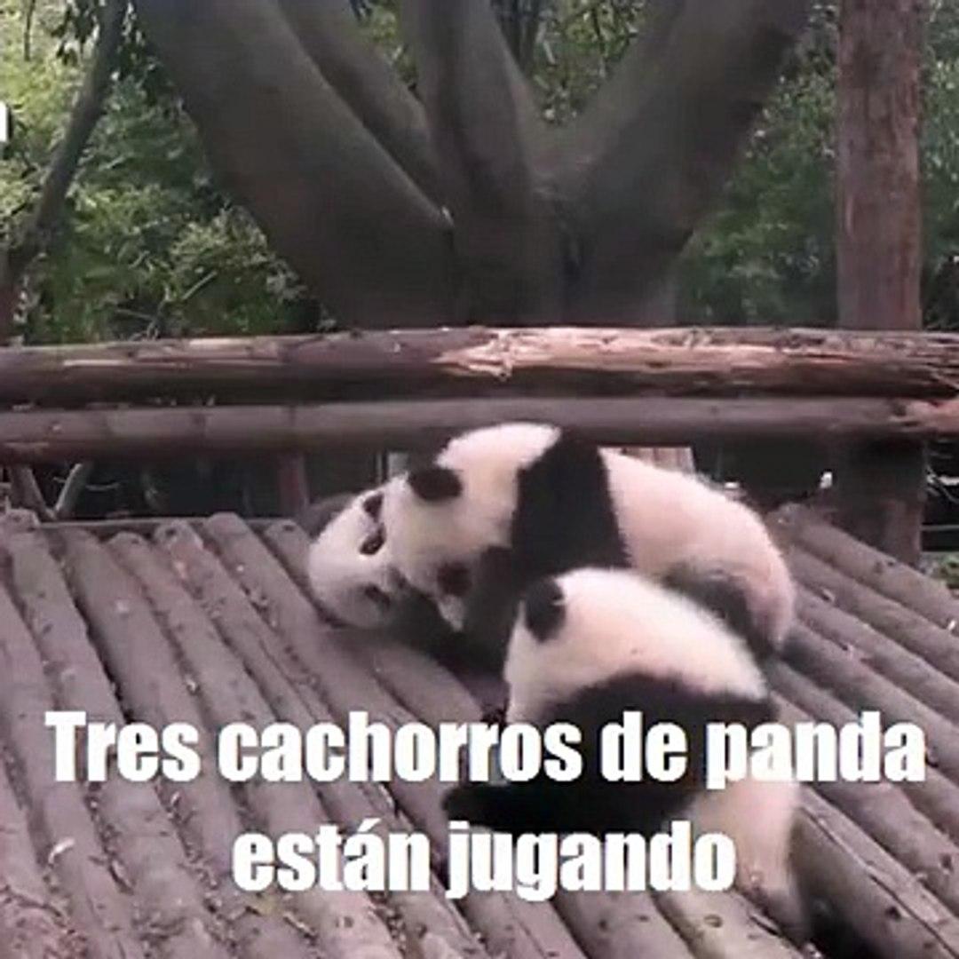 Vídeo divertido de tres cachorros de panda丨CGTN en Español