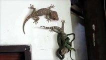 Un lézard sauvé par un autre lézard alors qu'il était en train de se faire manger par un serpent