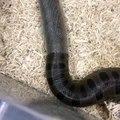 Un serpent en pleine mue change de peau : magnifique et terrifiant