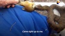 Ce serpent sauvage se laisse nourrir par un homme tout les jours