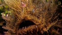 Ce poisson a un camouflage parfait et une technique de chasse impressionnante...  poisson grenouille strié