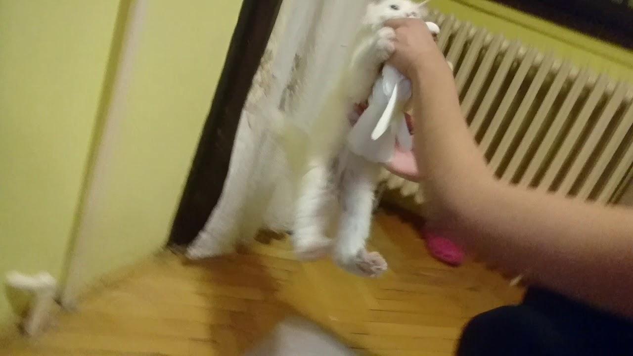funny persian cat attacks pigeon – choku attacks pigeon