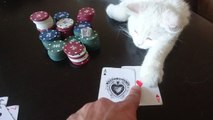 funny persian cat don't touch my gamble - choku don't touch my gamble