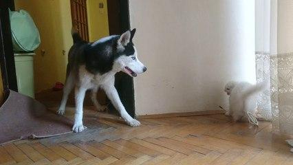 funny persian cat and alaskan malamute play - Choku & Mia play