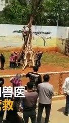 sauvetage d'une girafe