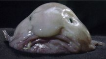 Le Blobfish