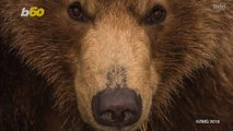A Fearless Photographer Gets Buddy-Buddy With Brown Bears Even Swimming With Them
