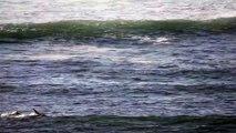 Un Paddleboarder face à un dauphin !