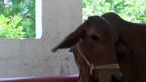 Kids drink milk straight from Indian cow's udders
