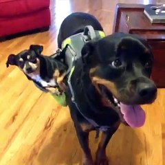 This is why I love Rottweilers!