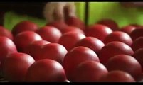 Making Of Cricket Balls || How cricket Balls Are Made ||