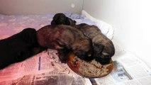 Le premier repas des bébés chiens. (Chiots berger catalan 2018)