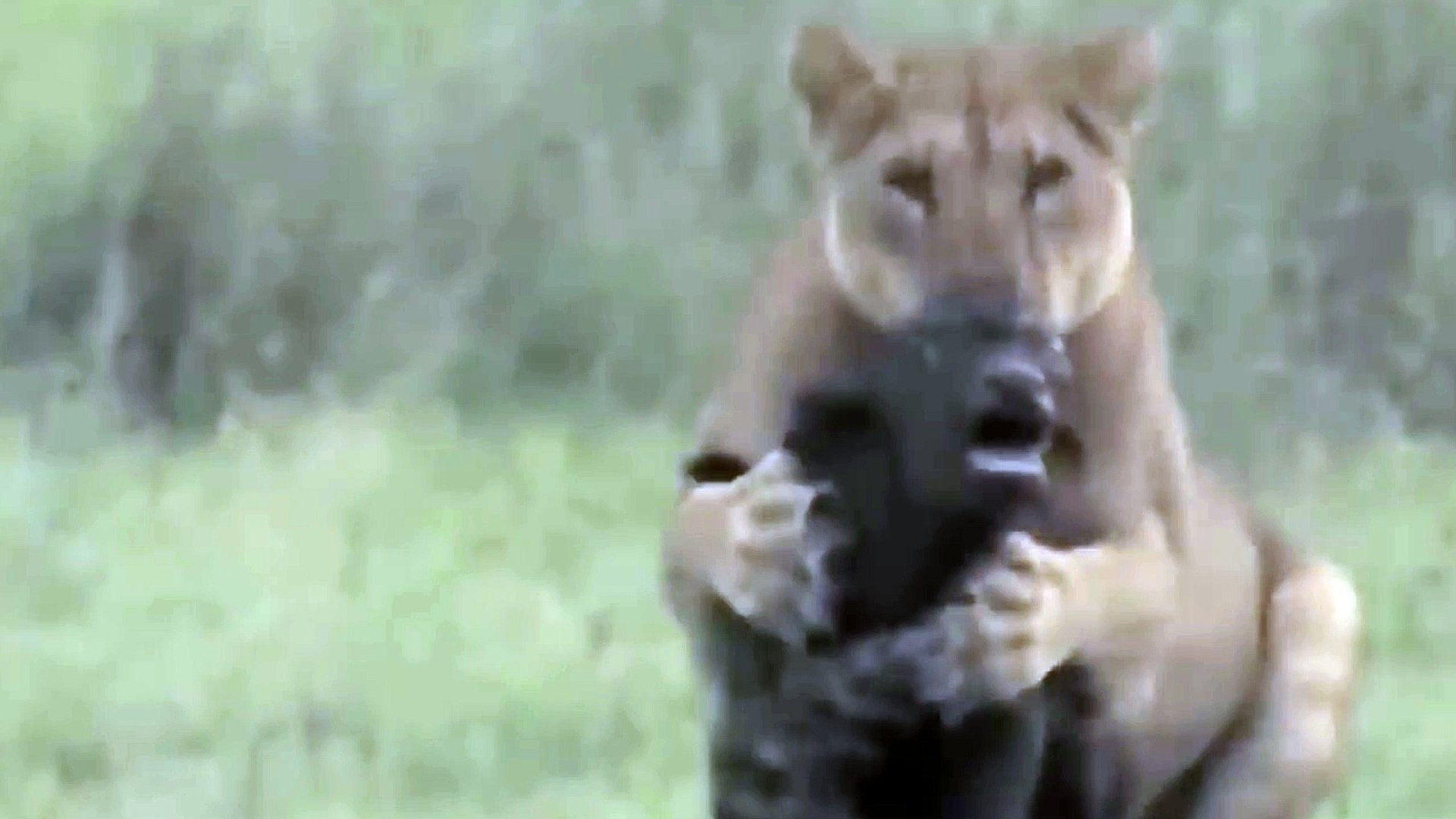 Lion Vs Buffalo Fight To Death | Mother Buffalo saves Baby From Lion But Mother Buffalo Death