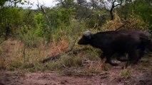 Lion Vs Buffalo Vs Hyena attack Buffalo - Most Amazing Hyena kill Buffalo brutal Fight