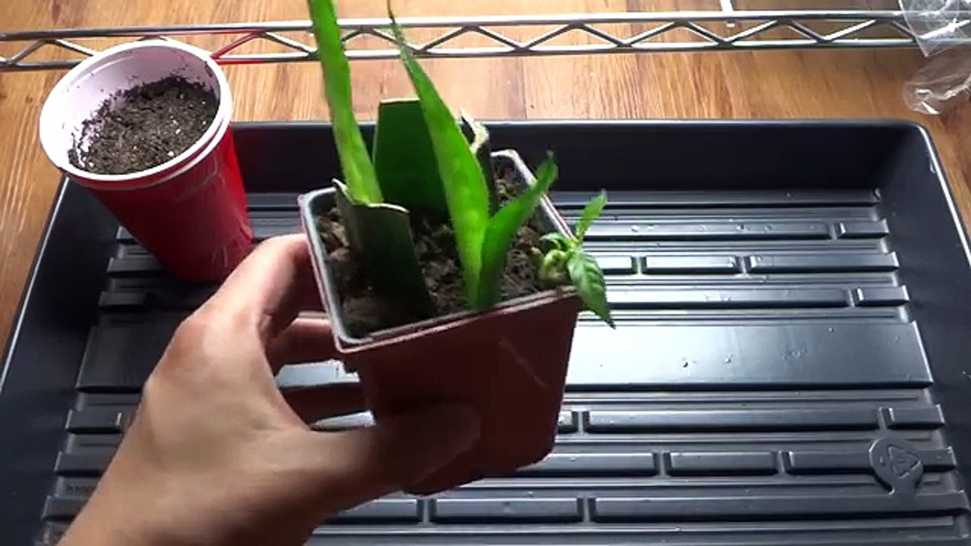 Snake Plant - Mother-in-Laws Tongue: How To Propagate from Cutting - Cloning Snake Plant