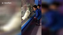 Arctic fox mimics boy by wiping zoo enclosure glass