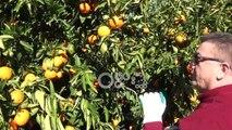 Ora News – Prodhimi i mandarinës në Konispol 30 % më i lartë, shumica shkon për eksport