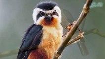 Cắt nhỏ bụng hung loài chim săn mồi nhỏ bé