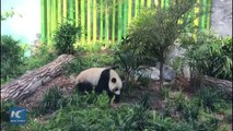 """The Calgary Zoo unveils its new attraction, four """"ambassadors"""" from China — adult pandas Er Shun and Da Mao and their cubs Jia Panpan and Jia Yueyue. The adult"""