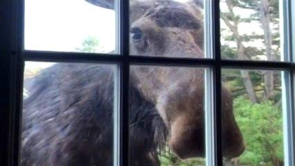 Wenn ein Elch zum Fenster reinschaut