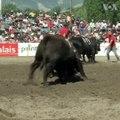 """یکی از سرگرمی های سنتی در سویس رقابت مسما به """"نبرد ملکهها"""" است که در آن گاوها جنگ انداخته می شود. #voasocial"""