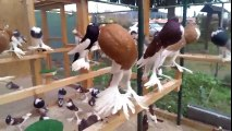 Beautiful Brunner Pouter Pigeons