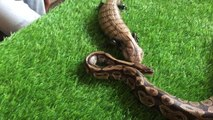 Giant Lizards and his friend Python | Snakes | Wild | Reptiles