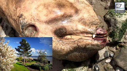 Pre-Historic Sea Monster Covered Spikes Washes Up On River Bank