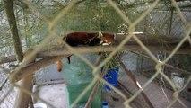 Laos: trois pandas roux rescapés d'un trafic d'animaux