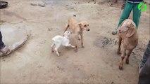 Un bébé chèvre vient téter les mamelles d'une chienne... Tellement adorable