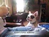 Funny Cute Boston Terrier Puppy Barking