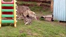 Смешные щенки хаски | Funny husky puppies | Divertido cachorros husky