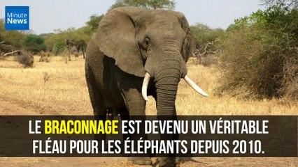 Afrique : Les éléphants changent leurs habitudes pour échapper aux braconniers