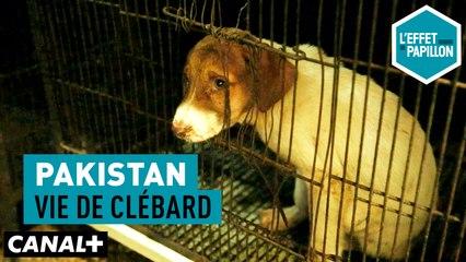 Pakistan : Vie de clébard - L'Effet Papillon du 13/05 - CANAL +