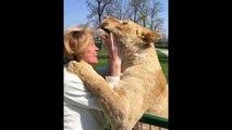 Les retrouvailles émouvantes entre 2 lions et leur ancienne dresseuse 7 ans après