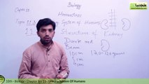 Urinary System of Humans - Biology Chapter 11 Homeostasis - 10th Class - YouTube