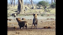 wild dog vs hyena real fight to death  | 10 Wild Dog Attack and Kills Two hyena  - Most Amazing Wild Animal  ATTACK video 2018