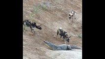 crocodile vs wild dogs real fight - African Wild Dogs Attack and try kill vs Crocodiles - most amazing wild animal attack video