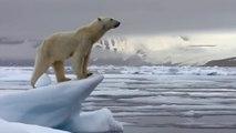 Un ours polaire affamé qui chasse un phoque sur la banquise !