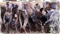 Cães Selvagens Vs Leões, Gnus, Zebras, Búfalos, Crocodilos