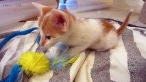 Funny Kittens  Funny Playful Kittens (Full) [Funny Pets]