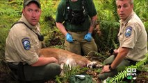 Chilling 911 Calls Released from Deadly Washington State Cougar Attack