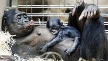 Female Bonobos Are Midwives For Other Bonobos