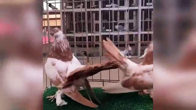 Best breeding fancy pigeon pair & Fancy pigeon breeders ( birds videos)