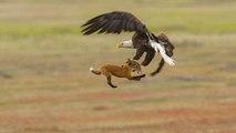 Un rapace vole le repas d'un renard