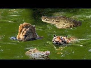 Lion vs Crocodile Real Fight