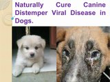 Naturally cure canine Distemper Disease in dogs