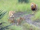 Ces lionceaux essaient de rugir comme papa... Adorable