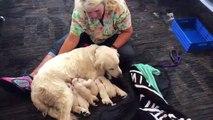 Floride : Une chienne labrador donne naissance à 8 chiots au beau milieu de l'aéroport de Tampa